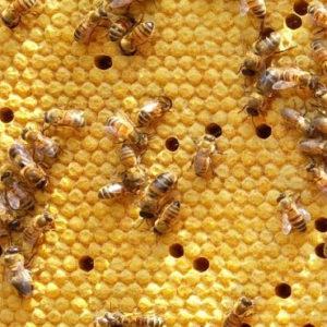 Bienenkönigin kaufen